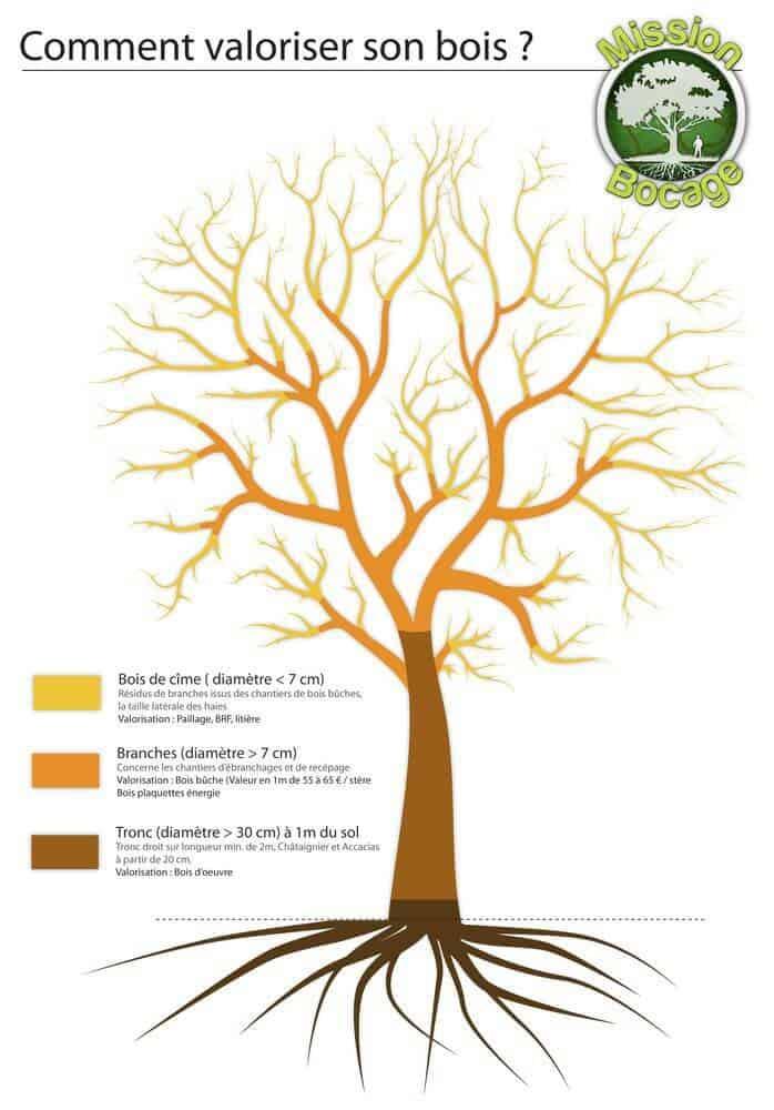 Valorisation du bois gestion et exploitation de vos arbres - Taille d un chataignier ...