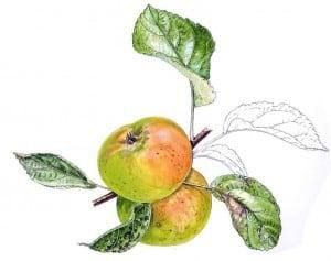 doux argent angers pomme