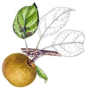 fenouillet gris pomme anjou