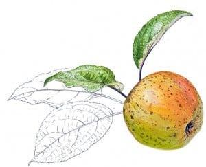 grand mère pomme anjou