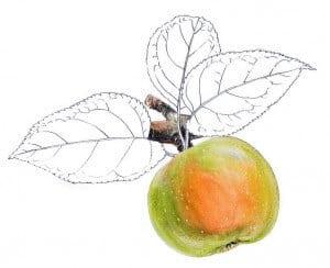 reinette anjou pomme