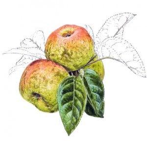 reinette dubuisson pomme anjou